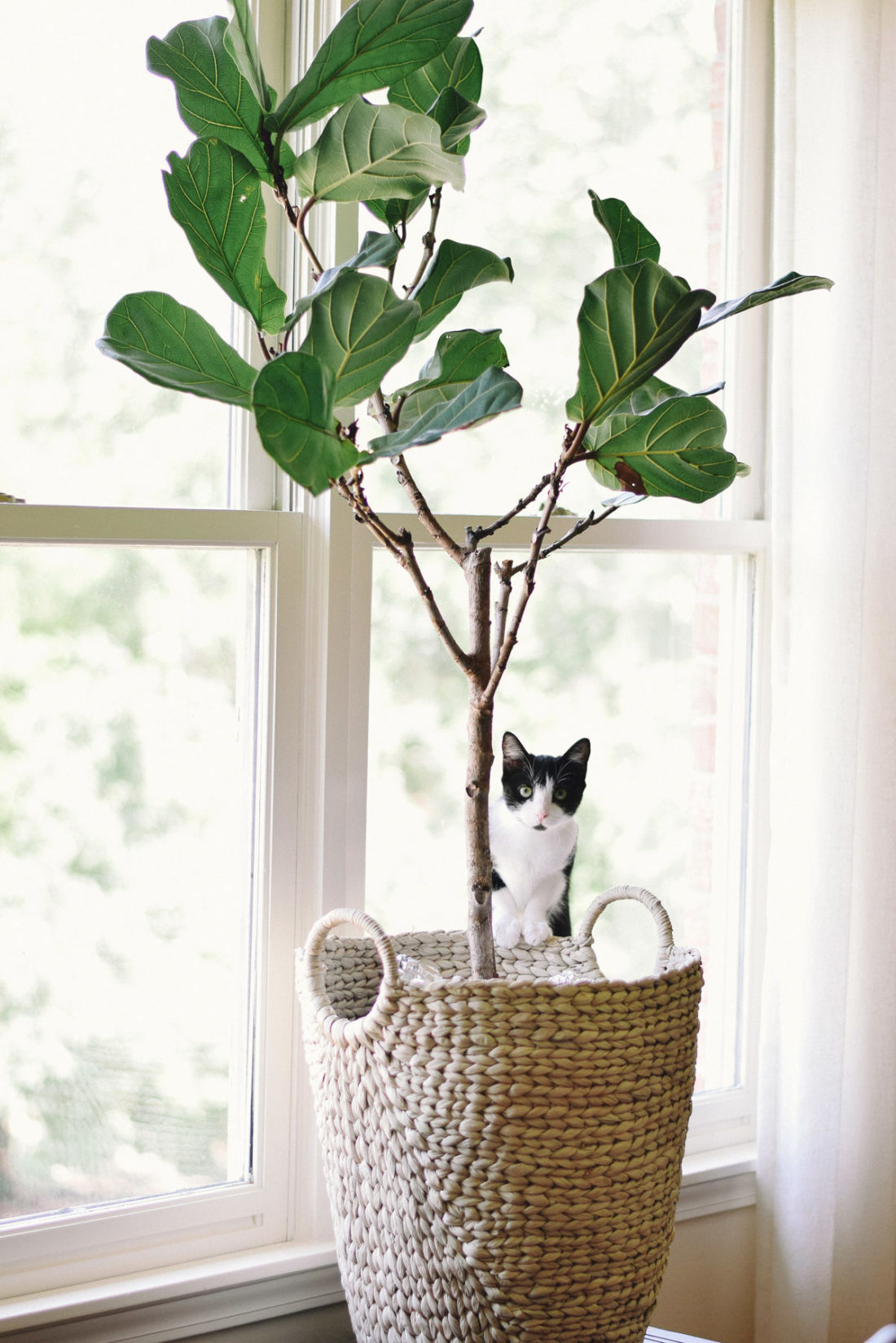 leafy the fiddle leaf fig: cat proofing, leaf rooting, and other plant struggles overcome!